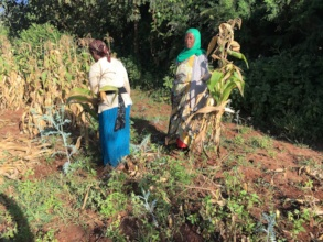 Fate harvesting corn in a Grow East Africa field.