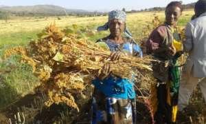 GrowEastAfrica quinoa harvest.