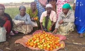 GrowEastAfrica tomato harvest.