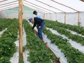 Student Carlos grows strawberries at 4000 masl