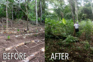 Before & After lockdown in the agroforetry system