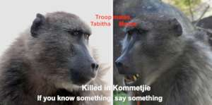 Baboons continue to be killed by pellet guns.