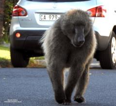 Kataza walking the streets of suburbia
