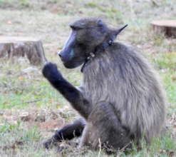 The life of a Cape baboon, collared & paintballed.
