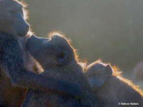 Caring baboons.