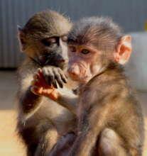 Orphaned baboons - Prime Crew rehabilitation cente