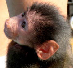 """Infant baboons are called """"pink face"""""""