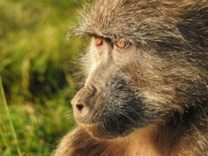 Chacma baboons are under threat in SA