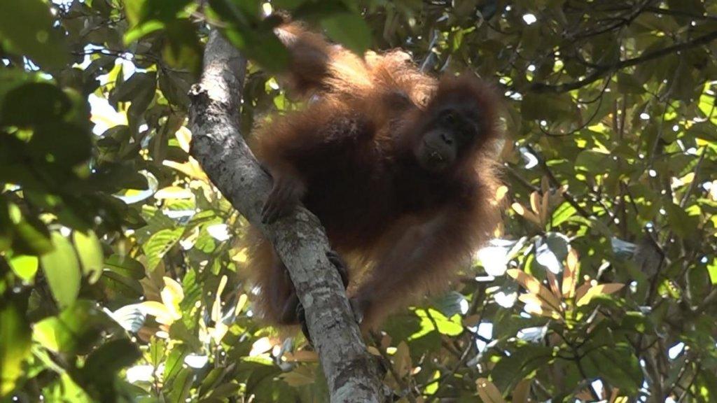 Save the orangutans of Borneo !