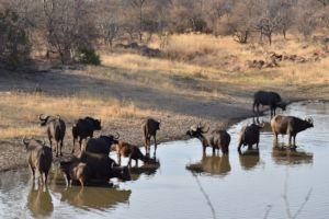 Buffalo Herd Karongwe