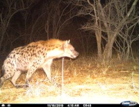 Hyena Camera Traps
