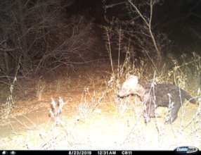 Hyena Cub on Camera Trap