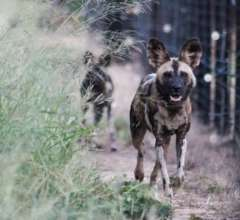 Wild Dogs in Boma