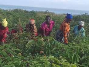 Widows in the field's Cassava