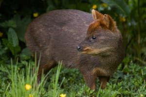 Pudu: endangered animal in Patagonia