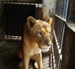 Life for a Taiiz Zoo Lion