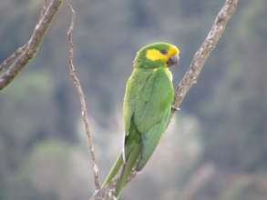 Endangered Yellow-eared Parrot