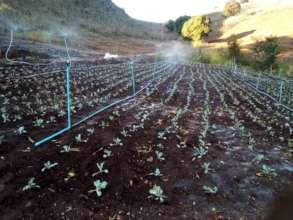 Mae Chaem Crops planted with biochar fertilizer