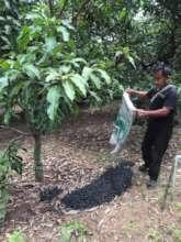 Farmer using biochar with orchard trees