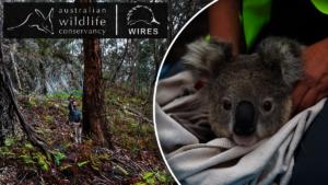 Bushfire Recovery Programs-Koala