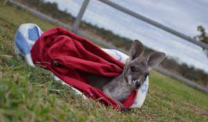 Rescued Kangaroo joey in care with WIRES