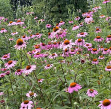 East River Park's coneflowers and bumble bees 7-21