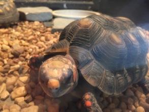 Rare Venezuelan Turtle at Animal Refuge Center
