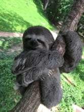 Venezuelan three-toed, pale-throated sloth