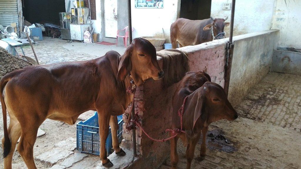 Shelter & Care for 50 cows at ISKCON Prayagraj