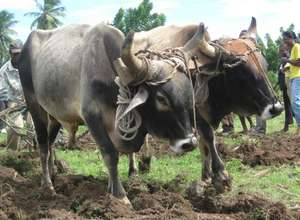 Donate an Ox: Help Improve Crop Productivity