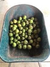 Apple harvest in Bentonville, Arkansas