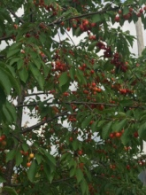 Mature cherry trees in Cleveland