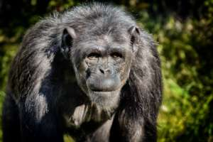 Chimpanzees are often hunted for meat