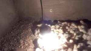 Rosina's day old chicks
