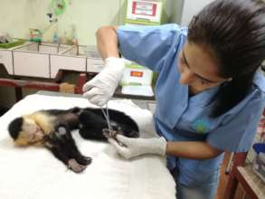 Physical exam of capuchin monkey by Dr.Tania