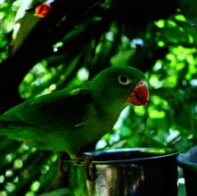 Rafa the Parakeet