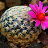 Winter, flowering time for many species of cacti
