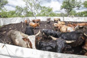 Cattle in a mobile predator-proof pen