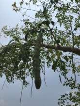 Moringa tree and moringa fruits