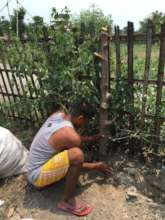 Sudarshan planting moringa cuttings