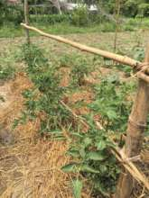 Tomatoes and mulching