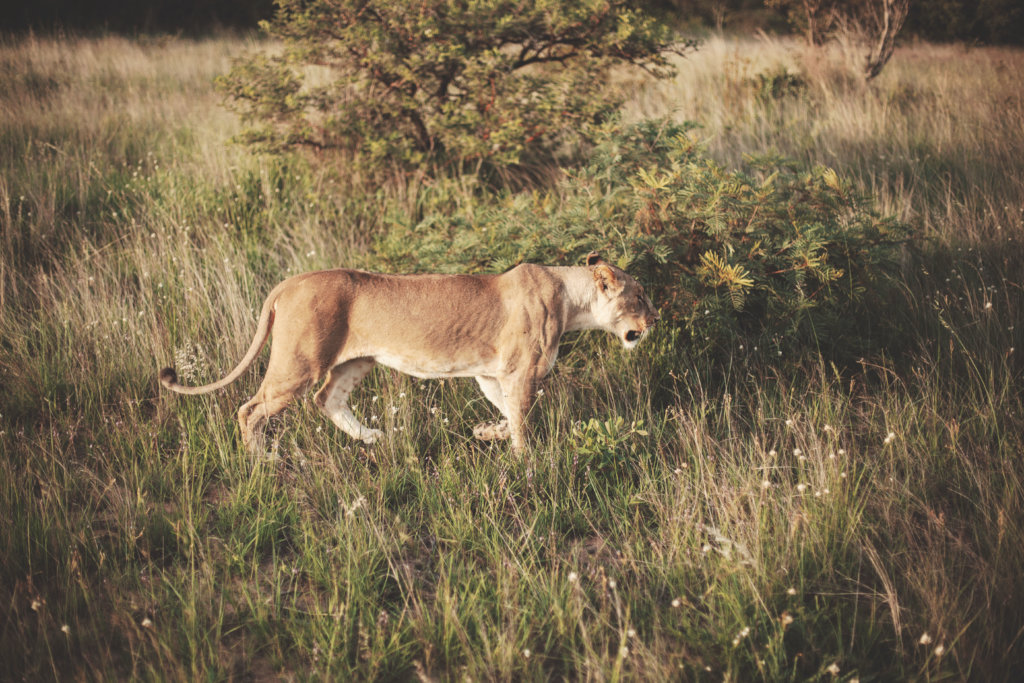 Sponsor a lion Guardian in Zimbabwe