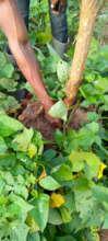 Cultivating orange-fleshed sweet potato.