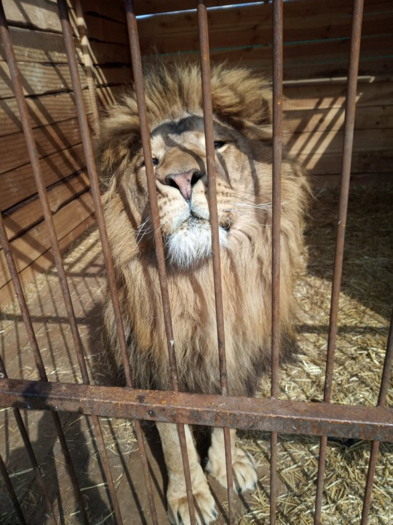 Bring home 4 lions from Ukraine to Africa