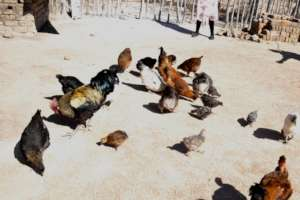 indigenous chickens adapt to local conditions