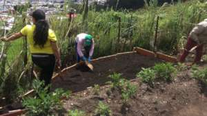 Community making a new culture bed in Paseito III