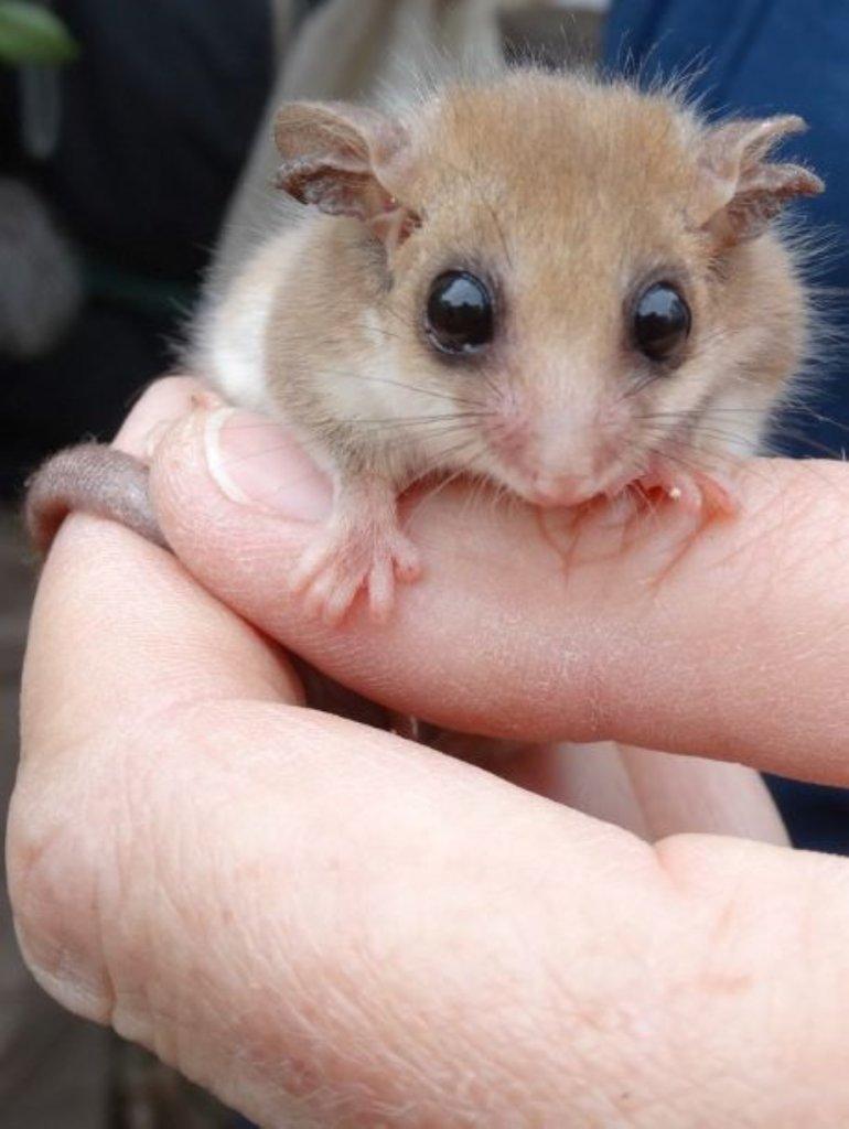 Understand & Protect the Western Pygmy Possum