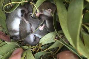 Western Pygmy Possum joeys