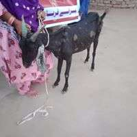 Goat Distributed to another Women