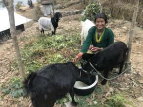 Shanti and her goats